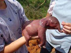 Adorable newborn Baby Elephant