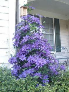 Clematis seeds flower clematis vines bonsai flower seeds perennial flowers climbing clematis plants for home garden Clematis Care, Clematis Trellis, Clematis Plants, Vine Trellis, Clematis Flower, Flowers Perennials, Planting Flowers, Garden Yard Ideas, Gardens