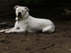 This is Ace my other American Bulldog
