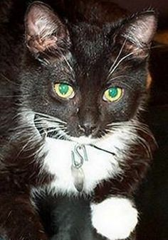 Archive: Sylvester (Tuxedo Cat) - See more Tuxedo Cats Facts at. Popular Cat Breeds, Cute Little Kittens, Tuxedo Cats, Cat Accessories, Cat Colors, Cat Facts, White Cats, Baby Love, Archive