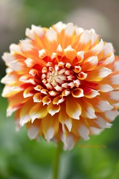 ~~Creamsicle | Bicolor dahlia, golden orange with white tips | by Robin Evans~~