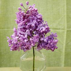 """Lavender Lady"" Lilac - Lavender Lady is  a profuse bloomer with strongly fragrant flowers, 'Lavender Lady' bears big clusters in the color you'd expect from the name: perfect lavender purple. ""Its flowers are huge and the plant is very robust. It's very dependable - AND - can grow in the South - yay!!!"