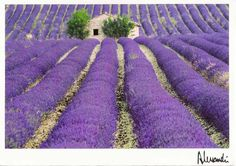 Oh to live in that house amongst all the gorgeous lavender fields!