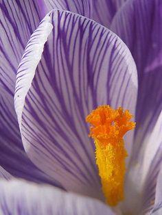 Orange and Purple / Crocus by Mattia Freddi Flower Close Up, My Flower, Flower Power, Close Up Photography, Photography Flowers, Fotografia Macro, Macro Flower, My Secret Garden, Natural Forms