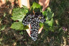 Traditional Grapes - Premium Wines of Romania Sweet Wine, Wine Tasting, Grape Vines, Wines, Red Wine, Traditional, Vineyard Vines, Vines