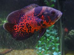 Find here Oscar Fish wholesaler & Wholesale Dealers in India. Get contact details & address of companies engaged in wholesale trade, manufacturing and supplying Oscar Fish across India. Tropical Freshwater Fish, Tropical Fish Aquarium, Freshwater Aquarium Fish, Aquarium Fish Tank, Aquarium Ideas, Tiger Oscar Fish, Tiger Fish, Parrot Fish, Cichlid Aquarium