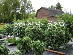 tomato trellis or circular cage support.  These look like giant 6 pack rings