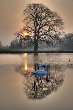 Real swans in Langley Park by jerry lake on Flickr.  (due to lack of light they seem blue)
