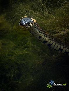 Rantakäärme, kuvaaja Samuel Taponen Snake, Animals, Animales, Animaux, Animal Memes, Animal, Snakes, Animais, Dieren