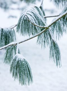 Detail of a Pine tree in the snow