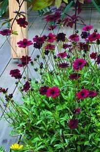 "previous pinner says :""Chocolate Cosmos - my signature container plant - smells AMAZING!""  ....I think I would like some for next year."