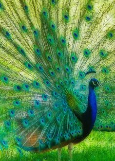 Peacocks are pheasants. Their coloring is gorgeous.  The males can have several females at a time and eachj will lay three to five eggs.