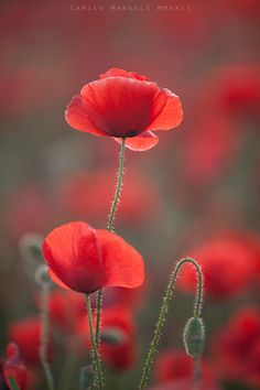 Red Spring Poppies by cmargeli Flowers Nature, Wild Flowers, Photo To Art, Flower Phone Wallpaper, Gerbera, Flower Pictures, Red Poppies, Amazing Flowers, Flower Tattoos