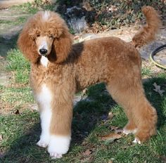 Zinnia from Cross Brook Poodles: Zinnia from Cross Brook Poodles