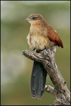 The White-browed Coucal - Centropus superciliosus is a species of cuckoo found in Sub-Saharan Africa .