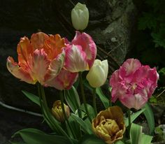 Tulips still going strong. Have lasted for weeks! Good photography subject. Thanks Sarah for sharing this photo of your 'Green Wave' and 'Belle Epoque' tulips http://www.sarahraven.com/flowers/bulbs/tulips