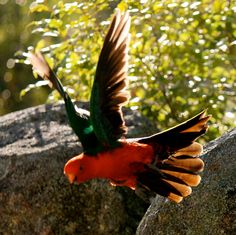 KING PARROT  MORUYA NSW AUSTRALIA  BY PETER STYRING..Australian Parrots and Birds