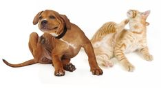Fleas and ticks aren't just a nuisance, they're a serious health threat to pets and people. Every year, illnesses and even deaths occur from the diseases these parasites carry, according to the Center Home Remedies For Fleas, Flea Remedies, Itching Remedies, Puppy Training Schedule, Dog Training, Dog Boarding Near Me, Medication For Dogs, Indoor Pets, Oils For Dogs