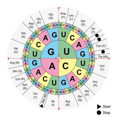 Transcription Worksheet With Codon Wheel: Stratton Lorraine DNA — Protein Synthesis, Dna Transcription And Translation, Translation Biology, Biology Poster, Study Biology, Biology Teacher, Central Dogma, Similarities And Differences, Molecular Biology, Organic Chemistry