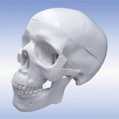 Walter Products Mini Human Skull with Brain