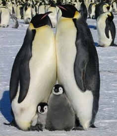 The Romantic Life Of Penguins | Farwest Climate Control