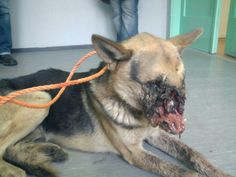 """Two teenagers in Bosnia decided to have """"fun"""" by duct-taping a live firework in a German Shepherd's mouth. Afterwards they took off, leaving the helpless creature, Vucko, to suffer. Vucko apparently wandered in agony for five days, unable to eat, before he was picked up by authorities and euthanized after vets were unable to perform reconstructive surgery.  Please spread the word and join the cause: http://www.causes.com/causes/645034-justice-for-a-special-dog/actions/1661588"""