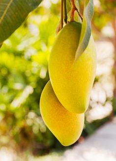 Mango 'Mallika' (Mangifera indica)
