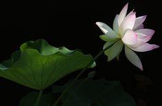 Pink tipped Lotus Flower and the leaf - IMG_9176 -, ハスの花, 莲花, گل لوتوس, Fleur de Lotus, Lotosblume, कुंद, 연꽃,