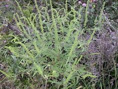 This is Ragweed...Find it and pull it before it seeds...Franklin County (PA) Master Gardeners: Goldenrod and Ragweed