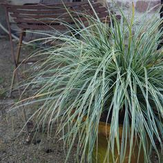 Buy sedge Carex oshimensis Everest ('Fiwhite') (PBR) - Distinctive green and white evergreen foliage: pot: Delivery by Crocus Sun Plants, Garden Plants, Garden Care, Back Gardens, Shade Garden, Evergreen, Perennials, Home And Garden, Perennial