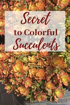 Learn how and why succulents change color!  We all love colorful succulents. Did you know the cause of those colors is usually succulent stress? More sun exposure, less water and a drop in temperature can lead to stressed succulents developing vivid coloring. Learn how succulents changing color is their response to stress, and how to help them.  #succulents #colorfulsucculents #succulentstress