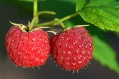 Red Raspberry Seed Oil, Raspberry Bush, Raspberry Plants, What Is A Berry, Raspberry Wine Recipes, Pruning Raspberries, Types Of Berries, Fruit Trees, Immune System