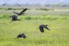 """ White-Faced Ibis Rising, No. 3 "". This was my first time seeing the white-faced-ibis. The first I saw must have been juvenile and weren't that impressive, and when I first saw the adults in breeding plumage, I thought they were similar to the Glossy Ibis I had seen in Virginia. Oh but when I saw them in flight, their colors are just beautiful, and the fields they are in with the white wildflowers and long grasses provide the perfect setting.. I have four images, this, and two others of..."