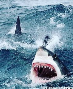 White Shark # frenzy
