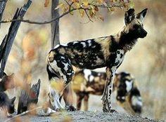 Endangered African Wild Dog