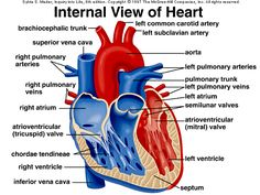 10 Misc ideas | earth gif, human heart anatomy, heart diagram
