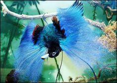 Exotic birds of paradise