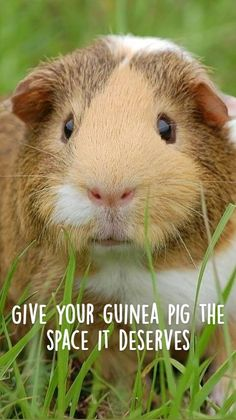 Diy Guinea Pig Cage, Guinea Pig House, Baby Guinea Pigs, Guinea Pig Breeding, Animals And Pets, Cute Animals, Pigs Eating, Pet Mice, Pet Rabbit