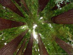 I love visiting the California Redwoods