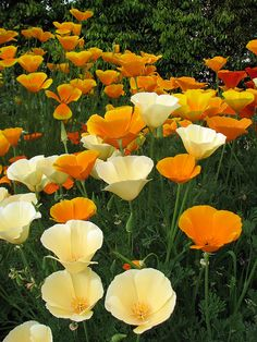 California Poppies (Eschscholzia californica) These grew in our garden at 26 Curzon Street, Calne...masses of them! :-)