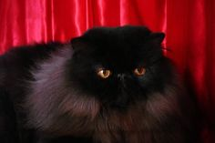 black persian cat. I'd find it nearly impossible to turn away an adorable black persian cat