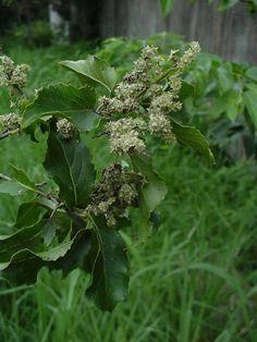 Homalium Dentatum Forest Homalium/Brown Ironwood Bosbastermoerbei m S A no 501 Flora, Environment, Herbs, Garden, Plants, South Africa, Image, Brown, Garten