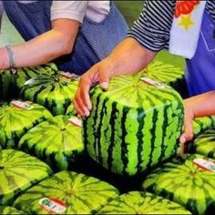 Square Japanese watermelon. When flowers appear they let it grow in a square box.