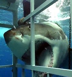 Great White Shark cage experience by Kendra. Megalodon, The Great White, Great White Shark, Orcas, Beautiful Creatures, Animals Beautiful, All About Sharks, Shark Pictures, Shark Pics