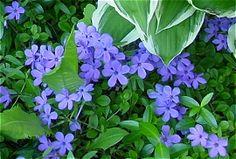 Beautiful shade garden with native phlox stolonifera
