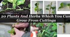 Did You Know You Can Grow These 20 Plants And Herbs Only From Cutting!? Read All About It Here ! | Home & Beauty