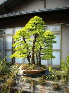 Bonsai Garden Art Plants Trees To Plant