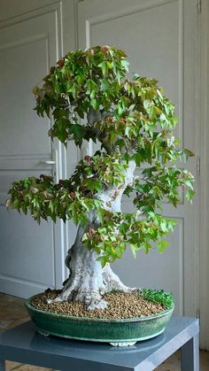 Bonsai Fruit Tree, Bonsai Plants, Bonsai Garden, Acer Palmatum, Low Maintenance Indoor Plants, Maple Bonsai, Bonsai Styles, Low Light Plants, Deciduous Trees