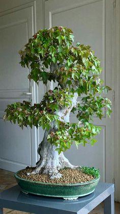 Bonsai Fruit Tree, Bonsai Plants, Bonsai Garden, Acer Palmatum, Low Maintenance Indoor Plants, Maple Bonsai, Bonsai Styles, Low Light Plants, Deciduous Trees