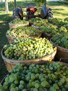 Nadire Atas on Wine Making From Grapes harvest time
